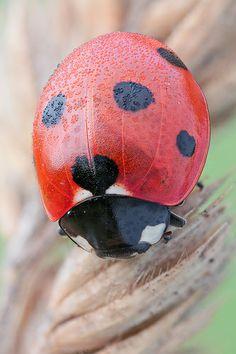 Seven Spot Ladybird - Cocinella septempunctata