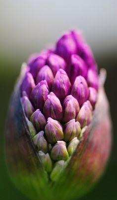 Allium blossom.  Macro.