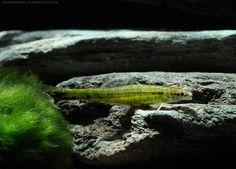 """Ammocryptocharax elegans  4-5cm """"WF Brasilien"""""""