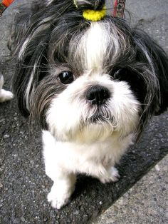 "The expression is totally Tia (she would never have that ""thing in her hair"":)...Shih Tzu"