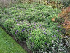 18. Symphyotrichum novae-angliae 'Purple Dome'