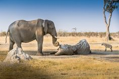 """""""We came across this elephant whose corpse was overcome by vultures and jackals. from a distance we heard and then saw another elephant approaching at a fast pace. she was successful at chasing away the predators and then very slowly and with much empathy wrapped her trunk around the deceased elephant's tusk. she stayed in this position for several hours guarding her friend."""""""