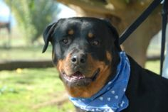 "PLEASE CHECK OUT LEROY AT ""ROTTS OF FRIENDS ANIMAL RESCUE"" HE IS A BIG CUDDLE BUG DOG. HE HAS HAD SOME DIFFICULTIES BUT IS DOING FABULOUS WITH RENEE UNTIL HE GETS TO HIS FOREVER HOME. PLEASE COME AND VISIT HIM."