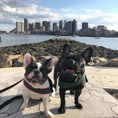 Happy Tuesday, Boston! Cosmo and Juniper, French Bulldogs on instagram #tot #beantown #citydogs