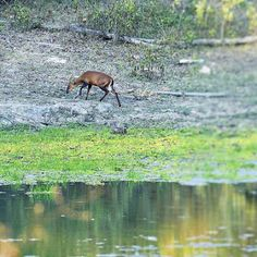 Wildlife and Wildlife Photography: Wildlife and Wildlife Photography - Barking Deer, ...