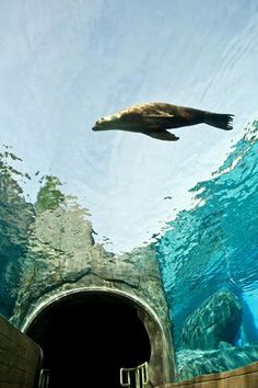 Sea Lion Sound Tunnel at the St. Louis zoo!! It just opened and I CAN NOT wait to go!! Plus it's FREE