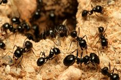 Get rid of ants. Home remedies to get rid of ants. Best ways to kill ants. Get rid of ants at home. Natural treatment to get rid of ants fast. Ant Pest Control, Termite Control, Pest Control Services, Bug Control, Ant Species, Ant Bites, Black Ants, Get Rid Of Ants, Bees And Wasps