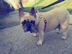 My beatiful french bulldog :-* little Josie!
