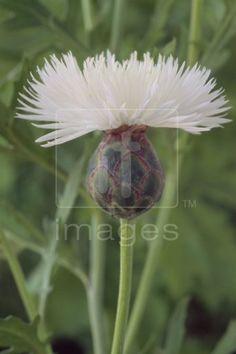 Centaurea moschata 'The Bride' (scented)