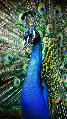 Peacock 😍 discovered by Peacock Decor, Peacock Bird, Peacock Feathers, Peacock Images, Peacock Pictures, Beautiful Birds, Animals Beautiful, Cute Animals, Exotic Birds