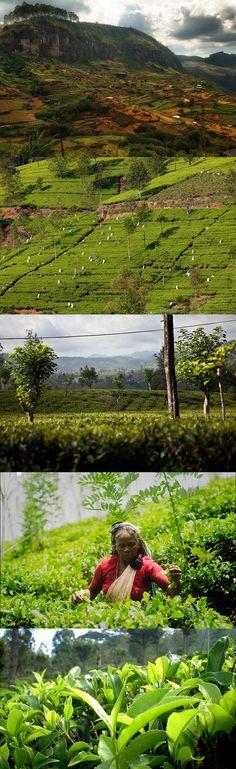 #Tea country, #Sri Lanka  original images: by https://www.flickr.com/photos/34538807@N04/ https://www.flickr.com/photos/dfataustralianaid/ https://www.flickr.com/photos/kosalabandara/ https://www.flickr.com/photos/lakpura/ https://www.flickr.com/photos/87806091@N07/