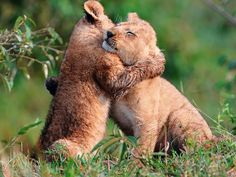 lion cub, hug x 1800 px] - Animals/Wildlife - Pictures and wallpapers Beautiful Cats, Animals Beautiful, Baby Animals, Cute Animals, Wild Animals, Animal Hugs, Share Pictures, Gato Grande, Lion Cub