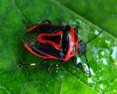 """Macro of a two-spotted stink bug. Scary!  Repin and join the """"buzz!"""" #Stinkbug101"""