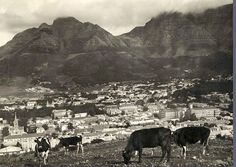 Cattle in Cape Town   1922. by Etiennedup, via Flickr
