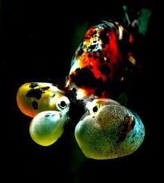 Bubble-eyed Goldfish | Flickr - Photo Sharing!