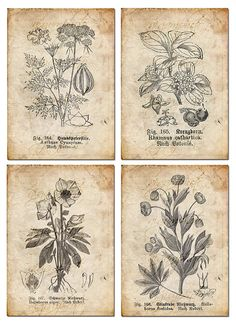 Vintage Botanical floral, plants, Old paper, drawing , set of 4 - digital… Vintage Botanical Prints, Botanical Drawings, Botanical Art, Vintage Prints, Vintage Botanical Illustration, Éphémères Vintage, Images Vintage, Vintage Paper, Vintage Floral