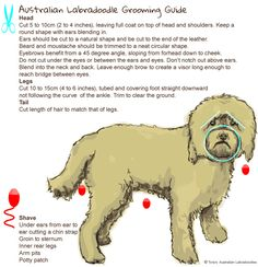 Labradoodle Grooming | Advice From Expert Labradoodle Breeders