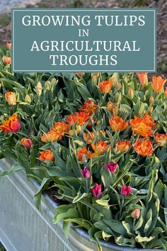 Wish you had room for a spring cutting garden? Find out how two Seattle-area gardeners and floral designers are using corrugated steel agricultural troughs (also called a stock tanks) to grow a bountiful supply of tulips.