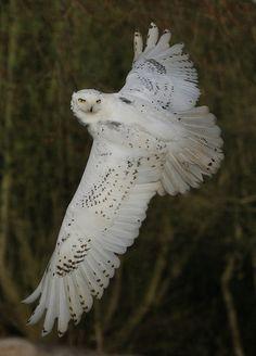 Snowy Owl by S R W Photography