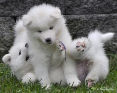 Puppies Cute Puppies, Dogs And Puppies, Doggies, Baby Animals, Cute Animals, Samoyed Dogs, Cute Dog Pictures, Love Your Pet, Snow Dogs