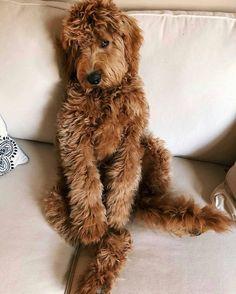 Dog Breeds Names .Dog Breeds Names Cute Funny Animals, Cute Baby Animals, Animals And Pets, Chien Goldendoodle, Goldendoodles, Labradoodles, Cavapoo, Goldendoodle Full Grown, Labradoodle Puppies