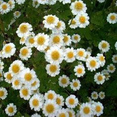 Feverfew is definitely a must-have for the herb garden! It is not only a lovely ornamental herb, but it has medicinal value as well. Chrysanthemum Parthenium Feverfew is easily grown from herb seeds,
