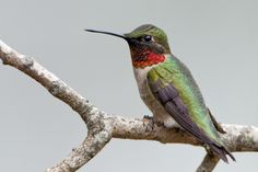 Hummingbirds at Home is a brand new citizen science initiative from Audubon.