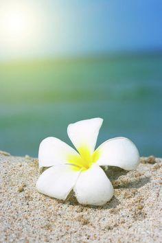Plumeria on the beach