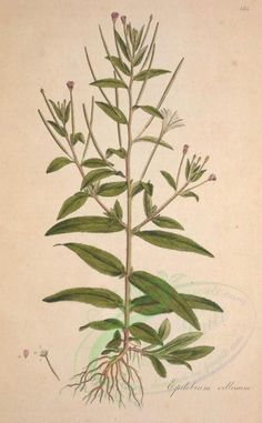 plants-10418 - epilobium villosum [3301x5330] Pictorial leaf 1900s leaves old ornaments paintings 1800s clipart 17th natural Edwardian engravings Graphic pack collection high qulity public wall craft lithographs ArtsCult nature  botanical Paper pre-1923 nice books digital royalty plants download printable collage fabric scan ArtsCult.com use beautiful illustration pages domain art masterpiece free vintage grass supplies flora naturalist botany Victorian instant floral 300 dpi herb…
