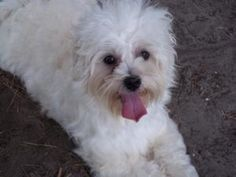 Adopt Penelope On Pets Havanese Dogs Adoption