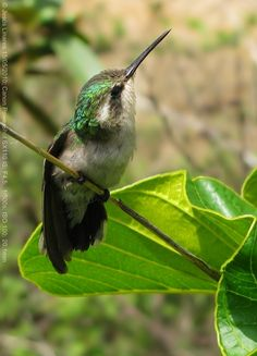 The Green-Tailed Emerald Hummingbird (Chlorostilbon alice) (female) is found only in Venezuela.