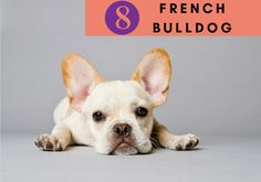 French Bulldog puppies breeds, Dog Breeds