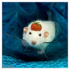 Belial 6 - Fancy rat by DianePhotos.deviantart.com