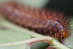 A Buff Erine Moth Caterpillar, also known as Spilarctia luteum.