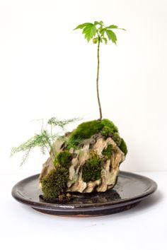 I experimented with some Dragon rock I picked up at greenaqua.hu — emersed again :) dailykokedama:  Another nice rock creation, this time from Dragon / Ohko stone. It is now built with a drainage system, for easier watering :)