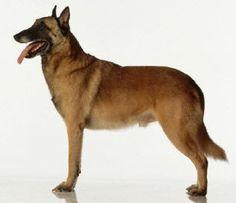 Pastor Belga - Guia de Raça de Cachorro - Dog Times