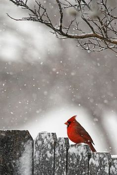 "♂ Wildlife photography Red bird in snow ""Little fellow in the red suit on Christmas Day!"" by Steve Heath #bird #snow #lonely #Red #Bird #Snow #Lonely"