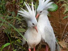 The Kagu or Cagou (Rhynochetos jubatus) is a crested, long-legged, and bluish-grey bird endemic to the dense mountain forests of New Caledonia. It is endangered, with its population threatened by introduced species such as rats, dogs, and cats.