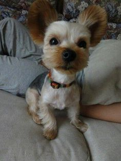 All About The Feisty Yorkshire Terrier Grooming Yorkshire Terrier Puppies, Terrier Dogs, Yorkie Haircuts, Yorkie Puppy, Dogs And Kids, Best Dog Breeds, Retriever Puppy, Dog Love, Poodle