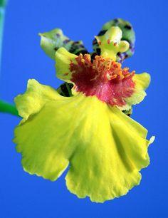 """Orquidea - Oncidium """"sweet sugar"""""""