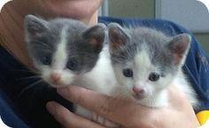 New Orleans, LA - American Shorthair. Meet Stassi, a kitten for adoption. http://www.adoptapet.com/pet/12901067-new-orleans-louisiana-kitten