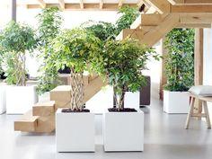 Die Schefflera ist die ideale Wahl für große Räume