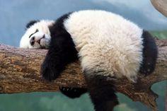 Really all you want to do is sleep. Wirklich alles, was Sie tun möchten, ist schlafen. Cute Funny Animals, Funny Animal Pictures, Cute Baby Animals, Animals And Pets, Wild Animals, Panda Bebe, Cute Panda, Photo Panda, Panda Mignon