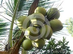 Coconut tree and bunch of fruit on it