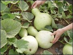 Gourd farm website has lots of tips
