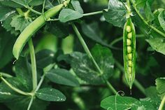 Sugar snap peas - #9 on the list of zero calorie foods