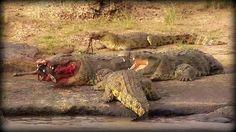 Crocodile eating wildebeest on the Masai Mara on #SafariLive @JamesRAHendry  @graham_  9-22-16