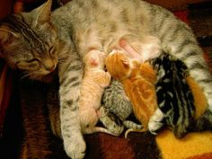 Cats purr when they are feeding their kittens. But why do cats purr? What other animals purr?