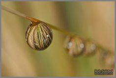 Rain water droplet hanging on native red tussock grass leaves (Chionochloa rubra) and reflecting plant in water bead