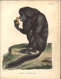 Alexander von Humboldt, Reisewerk, Zoologie, Pl. 27 Chiropotes satanas Vintage Illustration Art, Botanical Illustration, Primates, Mammals, Alexander Von Humboldt, Scientific Drawing, Nature Prints, Natural History, Animal Kingdom